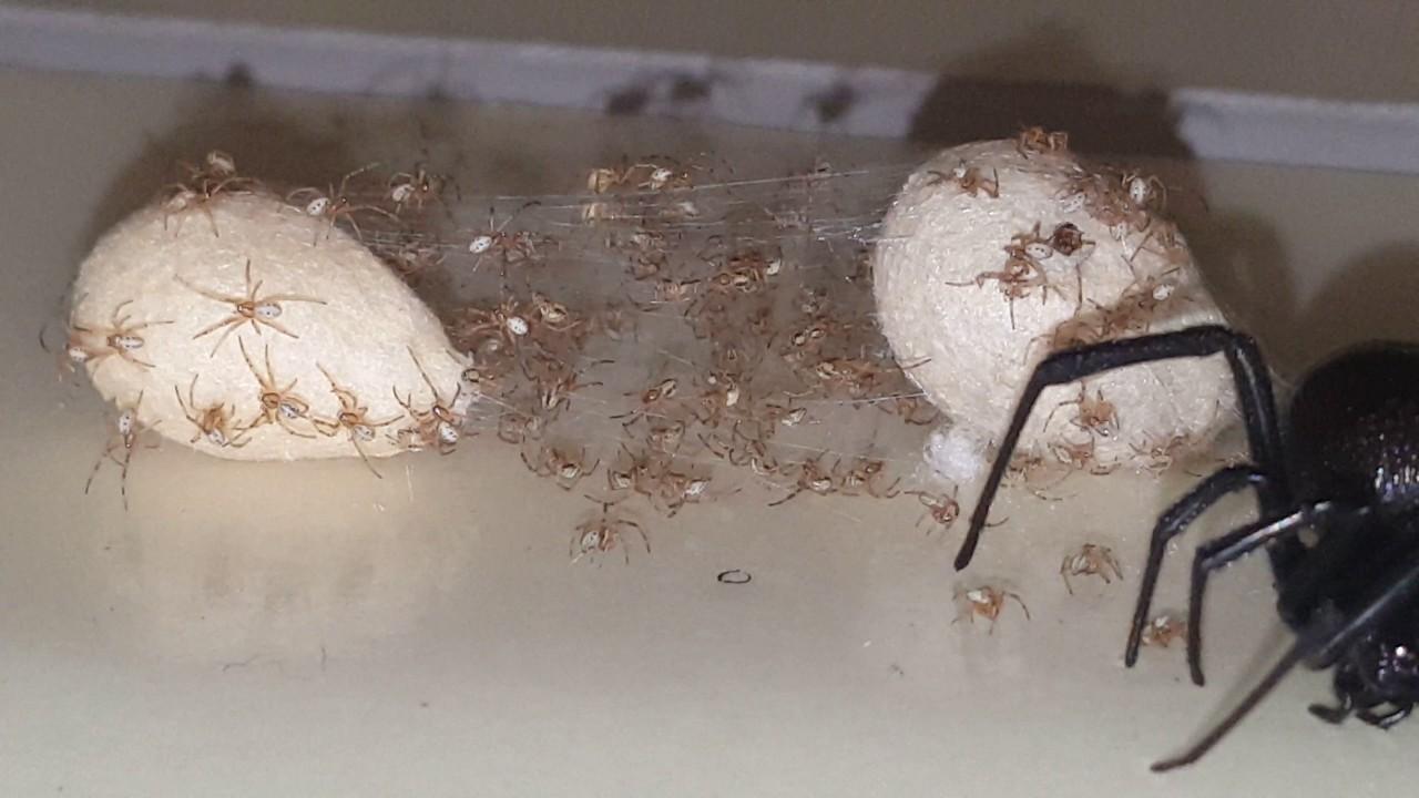 Black Widow Egg Hatching On Glue Trap