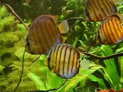 green discus (wild) symphysodon aequifasciatus - YouTube