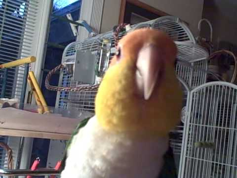 Caique Whistling and Chatting