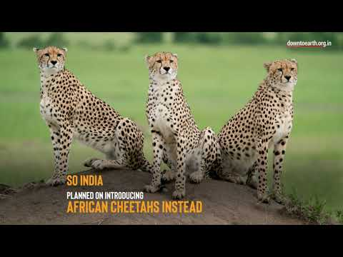 Why the cheetah may never come back to India?