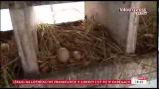 Kura z jajem -- nietypowym, bo podłużnym (TVP Info, 13.03.2014)