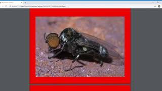Download Onchocerca volvulus