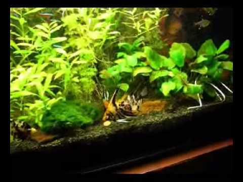 Aquarium 300 liter skalar kakadu zwergbuntbarsch for Skalar aquarium
