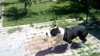 American Staffordshire Terrier Smart little dog