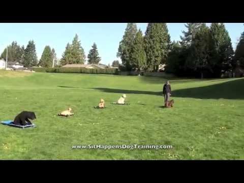 Kona - Field Spaniel