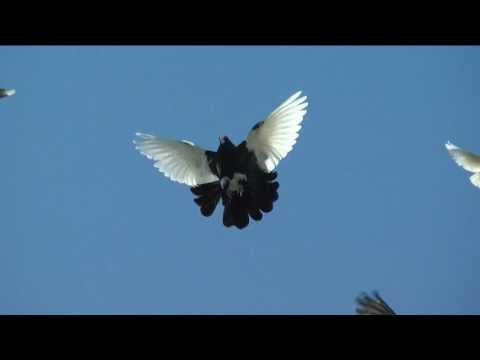 Николаевские голуби 2017 г.Фролово (+ видео)