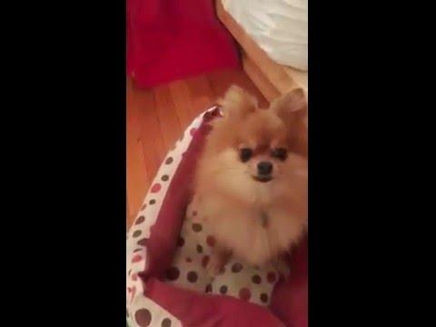 Tiny pomeranian puppy (all grown up) running