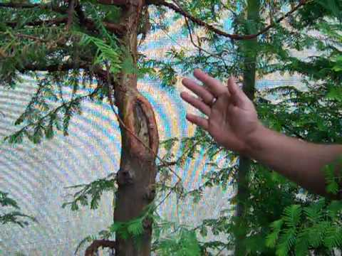 Giant Dawn Redwood project trees