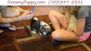 Dreamy Puppy - Shih Tzu Boy