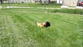 Havanese Poodle And Mini Schnauzer Puppy Playing Chase