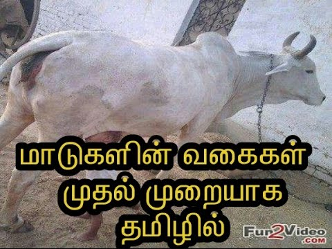 types of cow in tamil