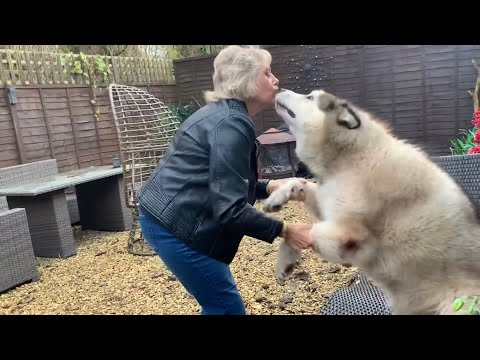 Giant Malamute! When You Get To See Grandma After Lockdown! (Cutest Reactions Ever!!)