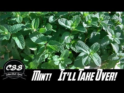 Why You Shouldn't Grow Aquaponic Mint!