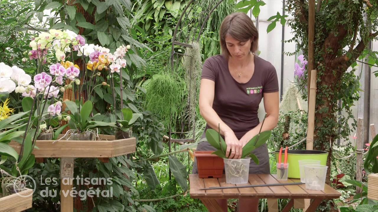 comment planter, rempoter et arroser votre orchid�e ? le