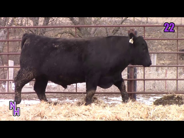 New Haven Angus Lot 22
