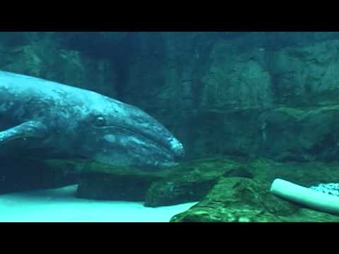 How did SeaWorld rescue, rehabilitate and return a young California gray whale?   SeaWorld®