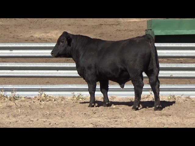 Connealy Angus Lot 146