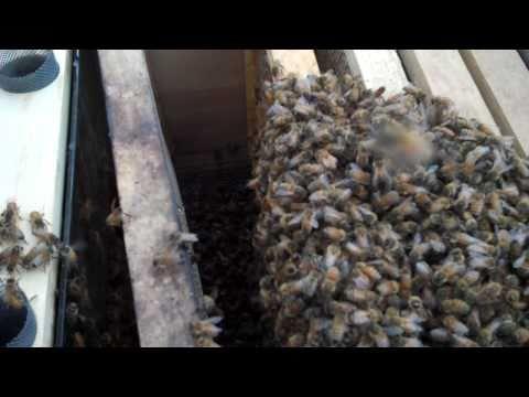 Bonnie The Beekeeper Installing CARNIOLAN Honey Bees.