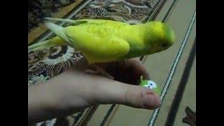 Хвилястий папуга Сівби і його улюблена іграшка Ам-ням