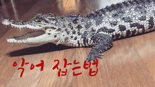 악어 잡는법 -#김치그릴스#악어#크로코다일#애완악어#파…