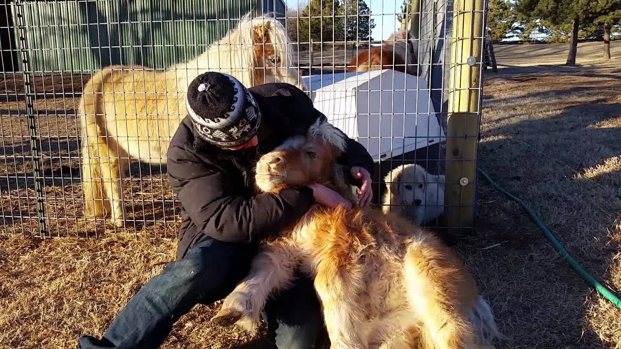 75 lb. full grown mini horse loves to cuddle - YouTubeFull Grown Mini Horse