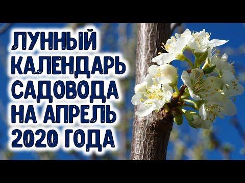 Лунный календарь садовода на апрель 2020 года. Когда сажать яблоню, грушу, смородину, виноград... | календарь | горяченко | апрель_2020 | садовода | посевной | дачников | рассада | календа | лунный | раиса