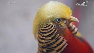 طائر صيني يشبه ترمب في تسريحة شعره