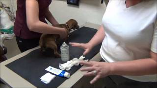 Expressing Anal Glands: A Full Circle Veterinary Care Instructional Video