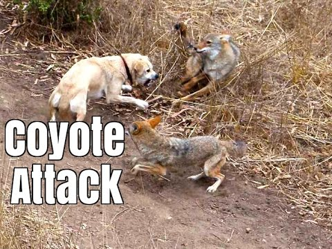 coyote-attacks-cat---dog-saves-cat