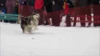 Самара скиджоринг 2 собаки.mp4