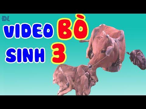 Bò sinh ba cực kỳ hiếm gặp ở Việt Nam II ĐỘC LẠ BÌNH DƯƠNG - Bò sinh ba cực kỳ hiếm gặp ở Việt Nam II ĐỘC LẠ BÌNH DƯƠNG