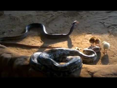 snakes swallowing chicks alive