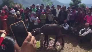 Dashin 073 -Gajul 1,Rolpa, Nepal-part 1