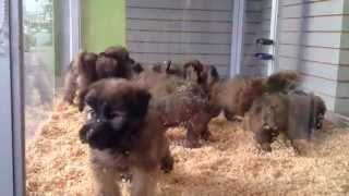 VISIT OUR WEBSITE: www.EmpirePuppies.net SOFT COATED WHEATEN TERRIE...