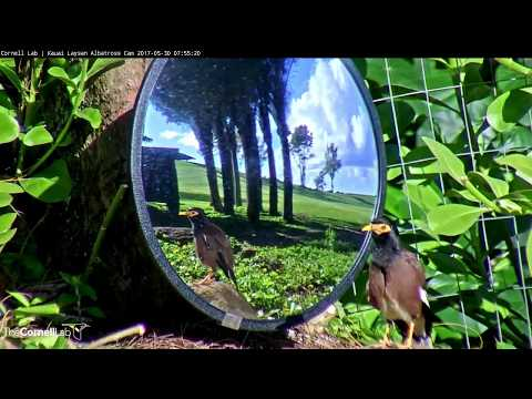 Common Myna Preens in Mirror on Albatross Cam – May 30, 2017