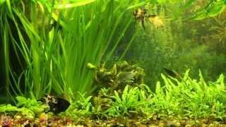Голландский аквариум на обслуживании Аквастиль. Оформление аквариума. Аквариумистика.(Голландский вариант оформления аквариума с мирными рыбками. Смотрите подробнее: http://www.akvastil.com/blog/novosti-1/post/akva..., 2013-04-30T16:26:42.000Z)