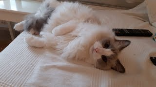 Fluffy Ragdoll Cat Attracts Owner Attention