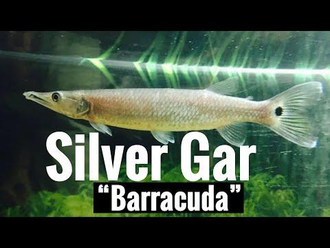 "Silver Gar ""Barracuda"" Rocket Gar - Hujeta"