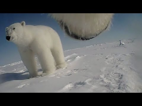Polar bear body cams capture never before seen behavior from Arctic predator