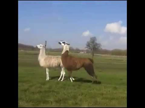 Llama bouncing to DMX