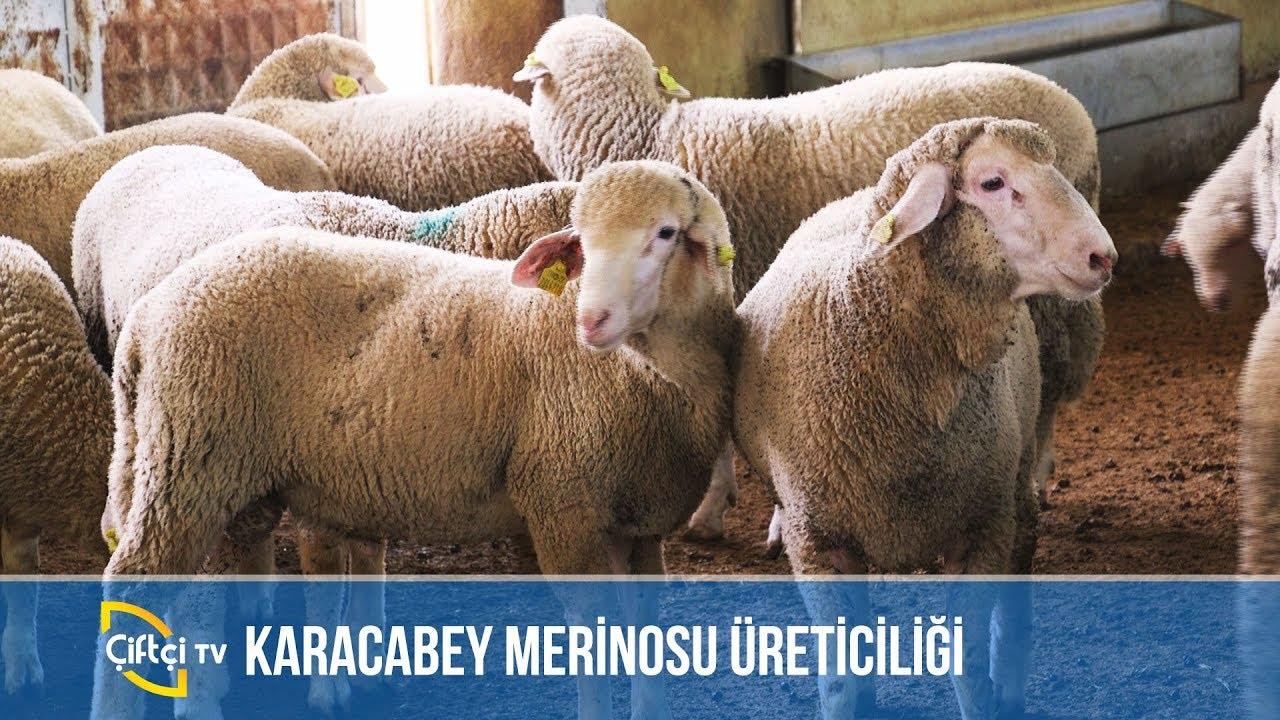 Karacabey Merinosu Üreticiliği - KÜÇÜKBAŞ DÜNYASI