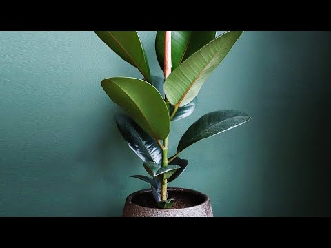 FICUS ELASTICA PROPAGATION FROM LEAVES | PLANT REJUVENATION