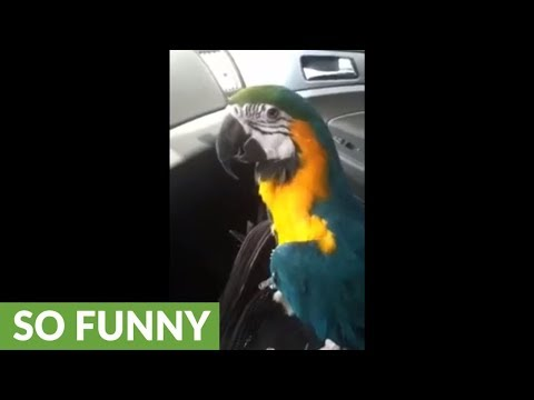 Parrot sings and dances along to car radio music