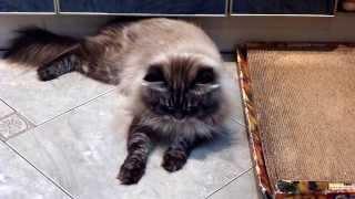 Невский маскарадный кот. Моему любимому мужчине Зиберту Данвел  3 года.