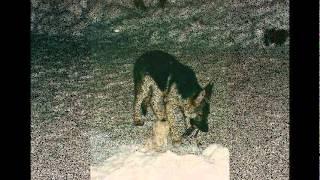 Alli (A German Shepherd) In Memoriam