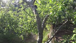 TIPS ON EASY APPLE TREE WATER SPROUT REMOVAL