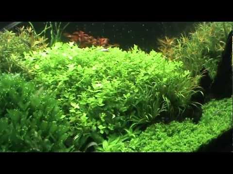 Giant Babies Tears - Micranthemum umbrosum