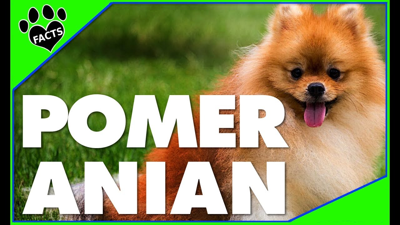 Dogs 101: 10 Facts About the Pomeranian - Most Popular Dog Breeds - Animal Facts
