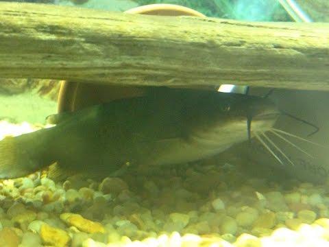 Native Fish Care: Yellow Bullhead