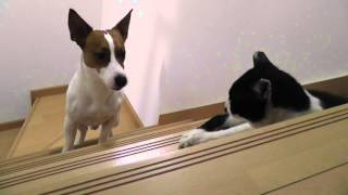 ネコが怖くて階段の上に上がれないジャックラッセルテリア.